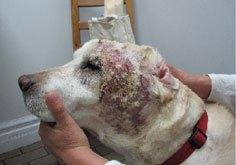 Chronic wound before laser therapy